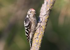 Lesser spotted woodpecker male sits on the branch Stock Images