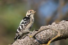 Lesser spotted woodpecker male sits on the branch Stock Photography