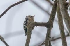 Lesser Spotted Woodpecker op de minderjarige van takdryobates royalty-vrije stock afbeeldingen
