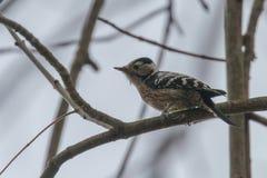 Lesser Spotted Woodpecker op de minderjarige van takdryobates stock foto's