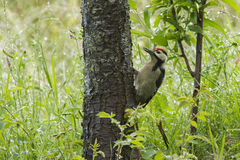 Lesser Spotted Woodpecker Stock Photos