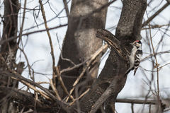 Lesser spotted woodpecker Stock Photo