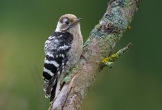 Lesser Spotted Woodpecker perched on an old lichen twig royalty free stock image