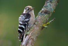 Lesser Spotted Woodpecker si è appollaiato su un vecchio ramoscello del lichene immagine stock libera da diritti