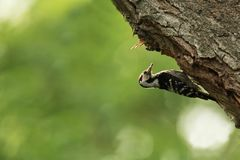 Lesser spotted woodpecker on tree Royalty Free Stock Images