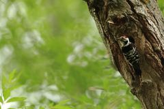 Lesser spotted woodpecker on treeat the nest cavity Royalty Free Stock Photos