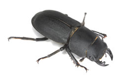 Lesser stag beetle, Dorcus parallelipipedus Stock Images
