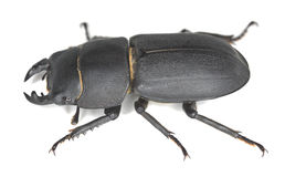 Lesser stag beetle, Dorcus parallelipipedus Royalty Free Stock Photo