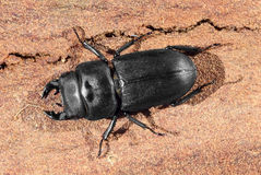 Lesser stag beetle. (Dorcus parallelipipedus) on an oak bark Stock Images