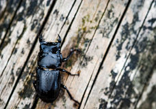 Lesser stag beetle Royalty Free Stock Photos