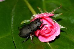 Lesser stag beetle Stock Photo
