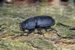 Lesser stag beetle Dorcus parallelipipedus Stock Photo