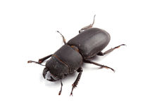 Lesser stag beetle (Dorcus parallelipipedus) on white Royalty Free Stock Photography
