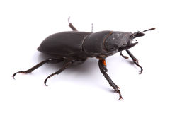 Lesser stag beetle (Dorcus parallelipipedus) on white Royalty Free Stock Images