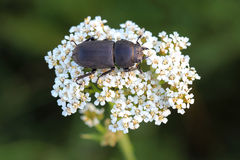 Lesser stag beetle (Dorcus parallelipipedus) on yarrows flowers Stock Images