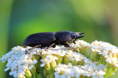 Lesser stag beetle (Dorcus parallelipipedus) on yarrows flowers Royalty Free Stock Images