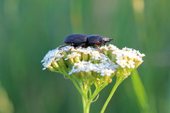 Lesser stag beetle (Dorcus parallelipipedus) on yarrows flowers Stock Image