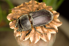 Lesser stag beetle /  Dorcus parallelopipedus Stock Images