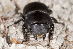 Lesser stag beetle on old oak. Extreme close-up. Stock Photography