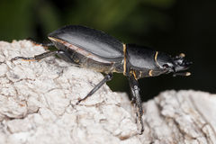 Lesser stag beetle on old oak. Macro photo. Royalty Free Stock Photos
