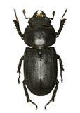 Lesser Stag Beetle su fondo bianco Immagini Stock Libere da Diritti