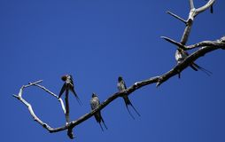 Lesser Stpriped Swallows Royalty Free Stock Photos