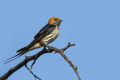 Lesser striped swallow sitting on a dry branch against blue sky Royalty Free Stock Photo