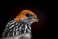 Lesser Striped Swallow stock image