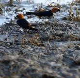 Lesser Striped Swallows Fotografie Stock Libere da Diritti