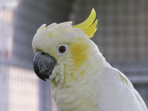 Lesser Sulphur Crested Cockatoo. Head shot of a Lesser Sulphur Crested Cockatoo Stock Photos