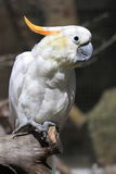 Lesser sulphur-crested cockatoo Royalty Free Stock Image