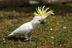 Lesser Sulphur Crested Cockatoo on grass Royalty Free Stock Images