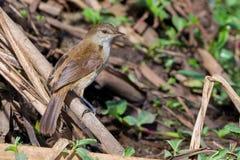 Lesser Swamp Warbler Perched On bambu Arkivbilder
