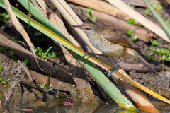 Lesser Swamp Warbler Perched On vasser Fotografering för Bildbyråer