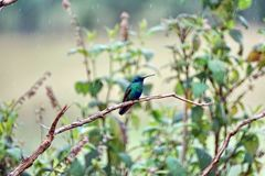 Lesser violetear on a branch in the Antisana Ecological Reserve stock image