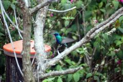 Lesser violetear hummingbird in the Antisana Ecological Reserve, Ecuador Stock Photography