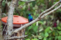 Lesser violetear hummingbird in the Antisana Ecological Reserve, Ecuador Royalty Free Stock Image