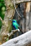 Lesser violetear hummingbird in the Antisana Ecological Reserve, Ecuador Stock Photos