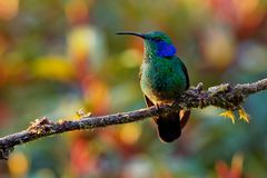 Lesser Violetear - Colibri cyanotus - mountain violet-ear, metallic green hummingbird species commonly found from Costa Rica to. Northern South America stock photography
