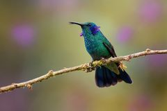 Lesser Violetear - Colibri cyanotus - mountain violet-ear, metallic green hummingbird species commonly found from Costa Rica to. Northern South America stock photos