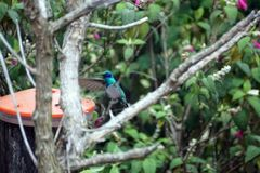 Lesser violetear hummingbird in the Antisana Ecological Reserve, Ecuador Royalty Free Stock Photos