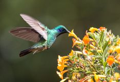 Lesser Violetear  hummingbird Colibri cyanotus,Panama. Closeup of flying Lesser Violetear hummingbird feeding from Marmalade plant in highlands of Panama near Stock Image