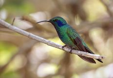 Lesser Violetear hummingbird Colibri cyanotus,Panama. Closeup Lesser Violetear hummingbird perching on branch in highlands of Panama near Boquete, Chiriqui stock image