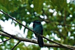 Lesser violetear hummingbird sitting on a branch. In Costa Rica stock photography