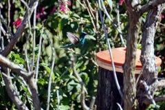 Lesser violetear kolibri i Antisana den ekologiska reserven Arkivbilder