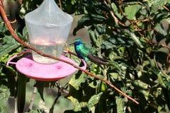Lesser violetear kolibri i Antisana den ekologiska reserven Arkivfoton