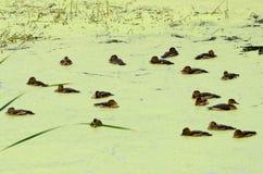 Lesser vissla and (den Dendrocygna javanicaen) Royaltyfri Foto