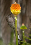 Lesser Wattle bird Stock Images