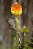 Lesser Wattle fågel Arkivbilder