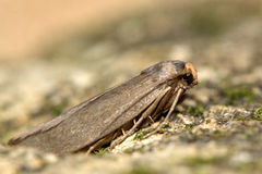 Lesser wax moth (Achroia grisella) Royalty Free Stock Photography